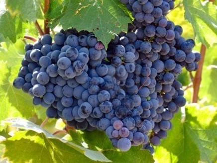 العنب يحمي المصابين بالمتلازمة الأيضية