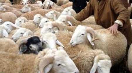 الشروط الواجب توفرها خروف العيد